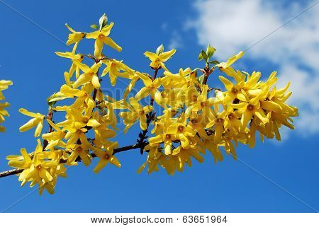 Spring Shrub With Flowers. Blooming Forsythia.