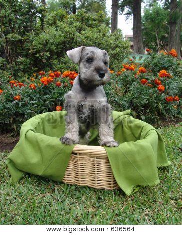 Schnauzer Puppy Basket