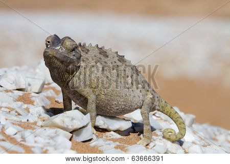 Close Up Of A Desert Chameleon