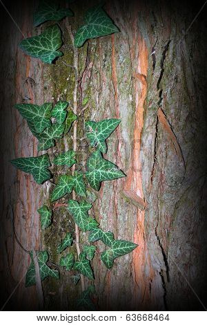 Wild Ivy Growing On Tree Trunk