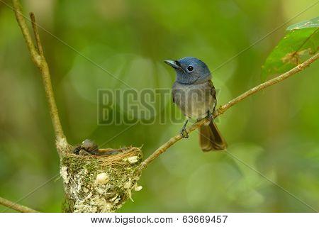 Female Black-nape Monarch