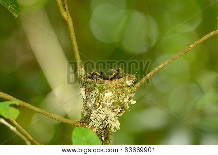 Black-nape Monarch