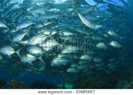 School of Bigeye Jackfish (Trevally fish)