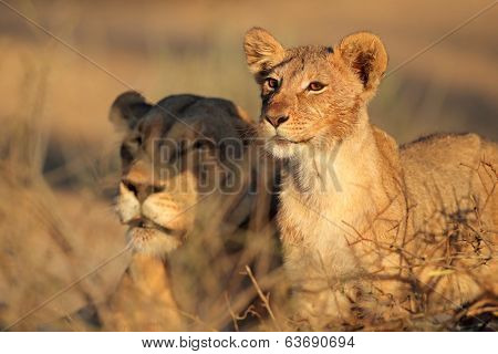 African lioness and cub (Panthera leo) relaxing in early morning light, Kalahari desert, South Africa