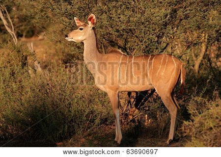 A female kudu antelope (Tragelaphus strepsiceros) in natural habitat, South Africa