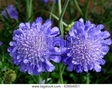 Pin Cushion Flowers