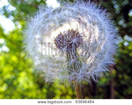 dandelion in ray sun