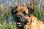 image of border terrier  - Portrait of a panting Border Terrier dog - JPG