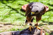 picture of hawk  - The Harris - JPG