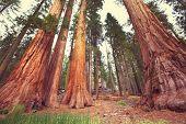 picture of sequoia-trees  - sequoia - JPG
