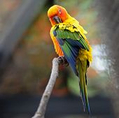 picture of sun perch  - Colorful yellow parrot - JPG