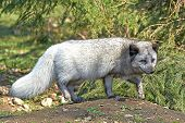 picture of arctic fox  - Arctic Fox at springtime in its habitat - JPG