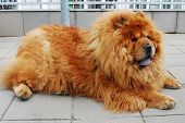 pic of chow  - Brown chow chow dog living in the european city - JPG