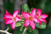 stock photo of desert-rose  - Desert Rose Flower Plants with beautiful colorful flowers - JPG