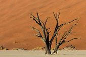 picture of petrified  - Petrified tree in front of an orange sand dune Dead Vlei Namibia Africa - JPG