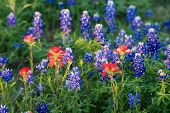 foto of bluebonnets  - Indian Paintbrush and Texas bluebonnet wildflowers blooming on meadow in early morning light closeup