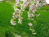 picture of weeping  - Weeping Cherry Blossoms dangle in the spring time breeze - JPG