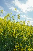 pic of biodiesel  - Oilseed Rape - JPG