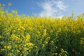 stock photo of biodiesel  - Oilseed Rape - JPG