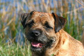 picture of border terrier  - Portrait of a panting Border Terrier dog - JPG