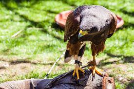 stock photo of hawk  - The Harris - JPG