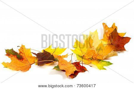 Autumn Dry Maple Leafs Isolated On White Background