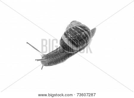 Closeup Of A Garden Snail With Tentacles Extended