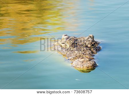 American Crocodile See Only The Head