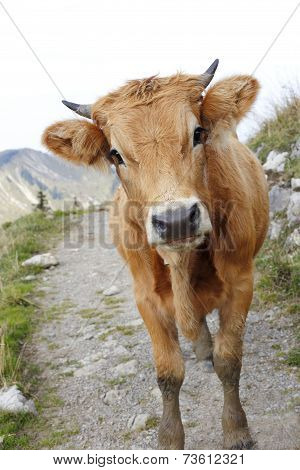 Young Cow On Mountain