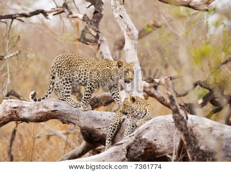 Two Leopards Standing On The Tree