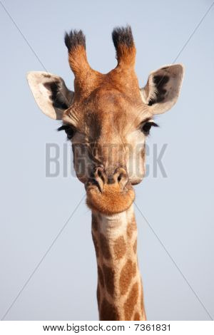 Single Giraffe (giraffa Camelopardalis)
