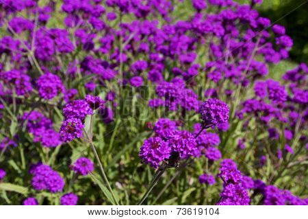 purple flowers of Rigid Verbena