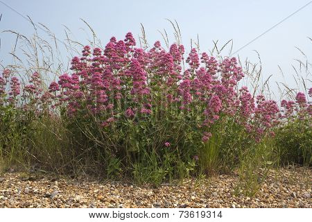 Red Valerian (centranthus Ruber) On Aldeburgh Beach, Suffolk, England