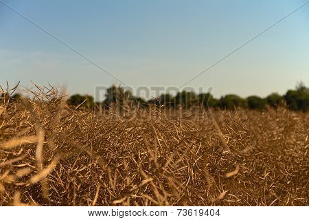 rape field in the summer just before harvest