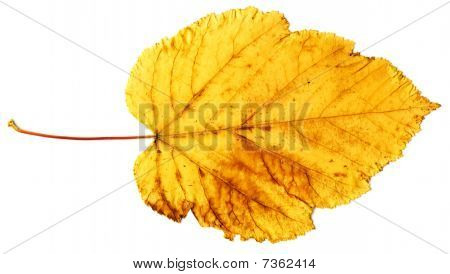 Yellow Autumn Leaf Isolated On A White