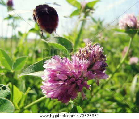 Bumble Bee Flies From Flower