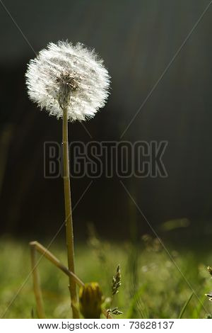 Dandelion Seed Head In The Afternoon Sunlight