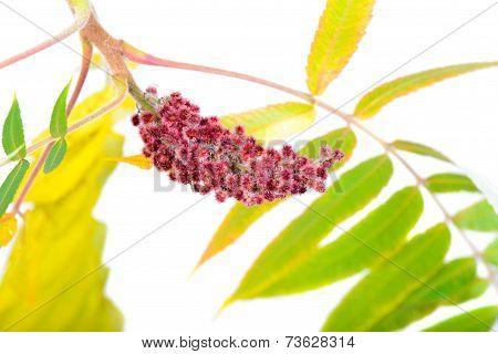 Rhus typhina flower