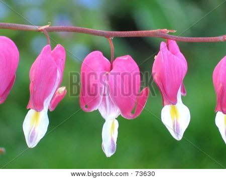 Bleeding Heart Closeup
