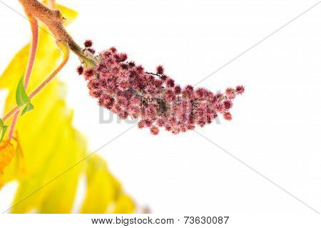 Rhus typhina flower with yellow leaves