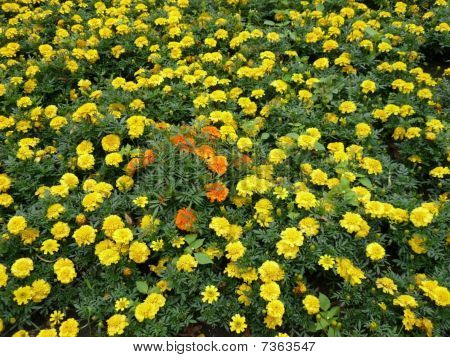 Yellow Flowers On Flowerbed