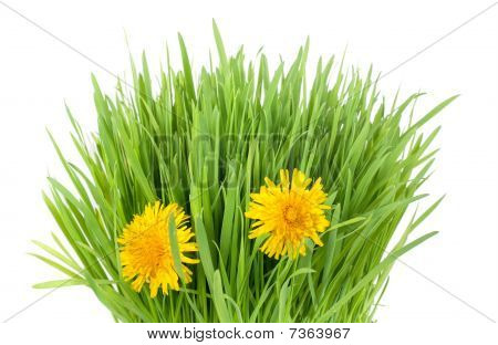 Grass And Dandelion