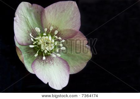 Speckled Pasque Flower