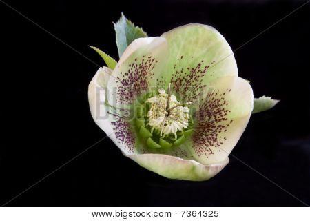 White Speckled Flower