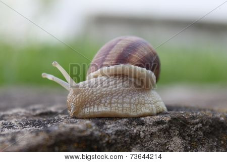 Snail on the stone.