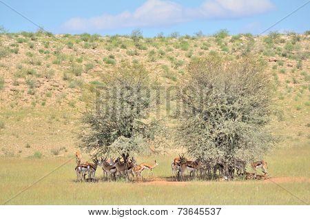 Springbok Herd Hiding Under Tree