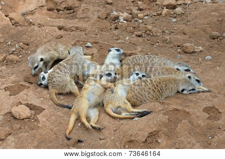 Meerkat Gang Or Family