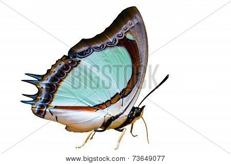 Indian Yellow Nawab Butterfly Isolated On White