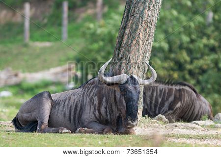 brown gnu lying on the meadow