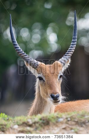 Cobo dell'Ellisse antilope portrait